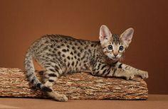 F3 Savannah kitten sooooo adorable!