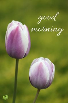good morning image with tulip flower.