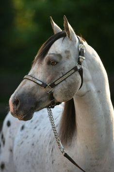 Beautiful Appaloosa Horse Horse Photos, Horse Pictures, Most Beautiful Animals, Beautiful Horses, Majestic Horse, Poney, Appaloosa Horses, White Horses, All About Horses