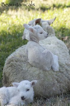 """Greta"", one of our Gulf Coast Native Sheep, with twins ""Spruce"" (on back) & ""Cedar""."