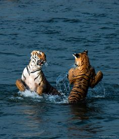 """""""Parwali the tigress playing with her sub-adult son in the Ramganga River."""" Tigers, Corbett National Park, India. ••Anagha Mohan Photography•• Nature Animals, Animals And Pets, Funny Animals, Cute Animals, Beautiful Cats, Animals Beautiful, Big Cats, Cute Cats, Nikon D5"""