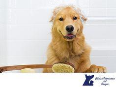 Baño para perros. LA MEJOR CLÍNICA VETERINARIA. Bañar a un perro es importante para mantener su higiene, pero hay cosas que se deben saber para hacerlo de una manera correcta. Los cachorros no se deben bañar hasta que se desteten, ni en el periodo de vacunas. Los perros adultos deben bañarse no más de una vez al mes para evitar enfermedades de la piel y mantenerlos limpios. En Clínica Veterinaria del Bosque ofrecemos servicios de estética canina para tu mascota. www.veterinariadelbosque.com…