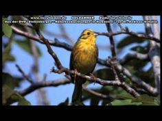 ▶ Die Goldammer in Siebenbürgen - Emberiza citrinella - YouTube
