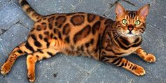 Most people won't admit that other pets are prettier than theirs. However, Thor is stealing hearts all over. Meet the perfect Bengal cat, Thor! Click here!