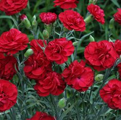 Red White & Blue flowers - Passion Dianthus fragrant deep candy apple red - Parkseed.com