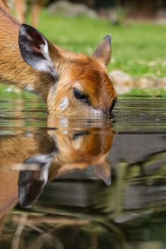This deer must really be thirsty - he's submerging himself in a pool for his drink (Martin Frehe on Nature Animals, Animals And Pets, Baby Animals, Funny Animals, Cute Animals, Animals Planet, Bambi, Beautiful Creatures, Animals Beautiful