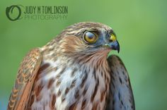 Sharp Shinned Hawk by Judy M Tomlinson Photography