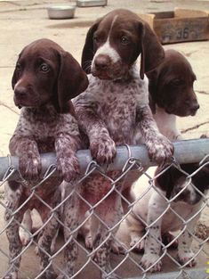 German Shorthaired Pointer Pups ~ Classic Look