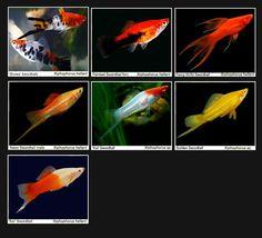 Tropical Fish and Tropical Fish Care Tropical Freshwater Fish, Tropical Fish Aquarium, Tropical Fish Tanks, Freshwater Aquarium Fish, Planted Aquarium, Fish Aquariums, Swordtail Fish, Platy Fish, Discus Fish