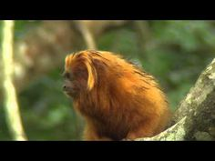 Endangered Golden Lion Tamarins   The Zoo   RTÉ One  Nesli tükenmek üzere olan Amazon Altın Aslan Maymunları.... #savetheworld #savetheanimals #saveamazon #amazon #goldenliontamarin #tamarin #monkey #amazon #maymun #dogamiz #hayvanlarıkoruyalım