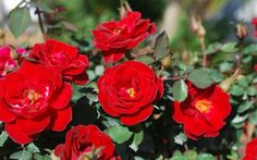 Sunrosa Red Shrub Rose-Sunrosa Roses are an exciting series from the Suntory Collection. Sunrosa Roses are beautiful, compact and bushy. Beautiful Flowers Garden, Amazing Flowers, Flower Backgrounds, Flower Wallpaper, Red Hot Poker Plant, Red Shrubs, Flower Box Gift, Red Bouquet Wedding, Fast Growing Trees