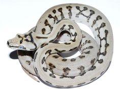 Gorgeous carpet python morph from Alpert's Exotics.
