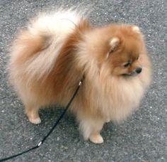 Pomeranian show cut