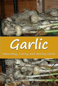 Tips on harvesting, curing and storing homegrown garlic. It's so easy to grow and much better than store bought you can't…