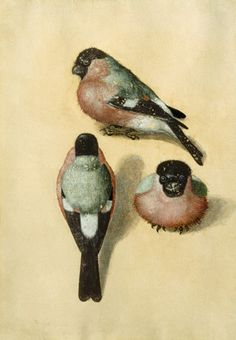 Bullfinches. Watercolour by Albrecht Dürer (1471–1528).  Wikimedia.