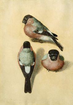 Bullfinches. Watercolourby Albrecht Dürer (1471–1528).  Wikimedia.