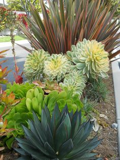 Don't know where to start with this whole California Friendly gardening thing? This is a great Cal Friendly combo to build around! Shown: Phormium 'Sundowner', Aeonium 'Sunburst', Aeonium urbicum and Agave 'Blue Glow'. http://rogersgardenslandscape.com/