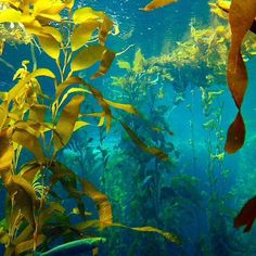 This #SeaweedSunday, we get by with a little kelp from our friends. Thanks to @codyvibez for this luminous look into our Kelp Forest exhibit! #montereybayaquarium