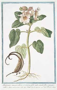139565 Proboscidea louisianica Thell. [as Martynia annua villosa et viscosa folio subrotundo flore magno rubro]  / Bonelli, Giorgio, Hortus Romanus juxta Systema Tournefortianum, vol. 2: t. 91 (1783-1816)