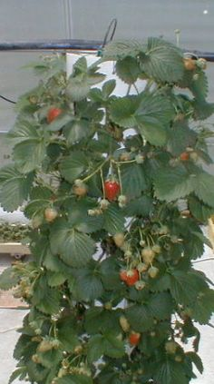 DIY PVC vertical strawberry tower...  { planted annually }