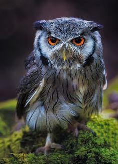 Simple Pleasures — beautiful-wildlife: Angry Eyes by © Paul Keates Beautiful Owl, Animals Beautiful, Cute Animals, Beautiful Pictures, Owl Photos, Owl Pictures, Owl Bird, Pet Birds, Eye Photography