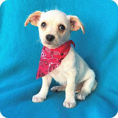Burbank, CA - Terrier (Unknown Type, Small) Mix. Meet Kent Terrier Puppy, a puppy for adoption. http://www.adoptapet.com/pet/17773326-burbank-california-terrier-unknown-type-small-mix