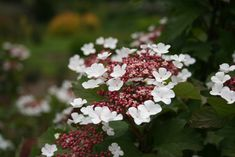 Plant of the week 21 - Viburnum sargentii Onondaga spotted at Drulon gardens in France last week. Featuring both ornamental foliage and floral displays, the leaves emerge fine textured, velvety, and maroon, later turning green but retaining a moroon tinge.  This makes a vivid contrast for the new foliage which continues to emerge maroon.  Showy maroon buds open to pinwheel-type creamy-white flowers with a pink tinge and purple anthers.
