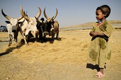 #Ethiopie - Dépiquage dans le Tigray #Ethiopia