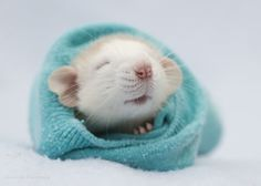 rat in a blanket - click on picture to see the 50 others