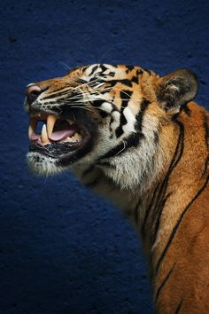 Today is International Tiger Day. International Tiger Day, also known as Global Tiger Day, is an annual celebration to raise awareness for tiger. Beautiful Cats, Animals Beautiful, Cute Animals, Wild Animals, Big Cats, Cool Cats, Tiger Conservation, Tiger Love, Blue Tigers