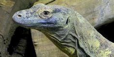 Komodo Dragon myth debunked