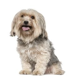 #VetsSherbourne The Yorkshire Terrier  have a soft side too. They need lots of attention and time with their family.