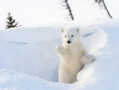 Depois de alguns meses em uma  toca quente, este pequeno urso emerge em um mundo branco de neve. Estes belos ursos,  poderosos, estão altamente em risco devido às alterações climáticas.  Fotografia: Shutterstock.   http://inhabitat.com/watch-a-little-polar-bear-cub-experience-snow-for-the-first-time/polar-bear-cub/