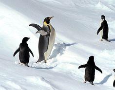 Emperor penguin, center, and Adelie penguins (Asahi Shimbun file photo)