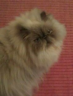 Himalayan cat.  Rascal, my little blue point baby.  I caught him here being very serious.