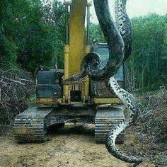 Giant Snake on Digger, The image itself is genuine and does depict a real snake. However, the snake was almost certainly not 700 lb as claimed and it was not found in Proctor, North Carolina (or the Panama Canal). And the photographer has used a technique called forced perspective to make the snake look considerably larger than it really is.