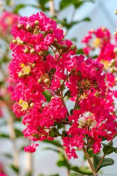 Lagerstroemia, Plantation, Green, Decoration Table, Dyi, Nature, Gardens, Fast Growing Trees, Scarf Patterns