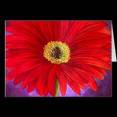 Red Daisy Gerber Flower Painting Art Greeting Cards / Note Cards. Get it here! http://www.zazzle.com/red_daisy_gerber_flower_painting_art_multi_cards-137697050349228201