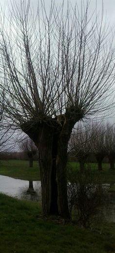 Typical Dutch tree, pollard Willow