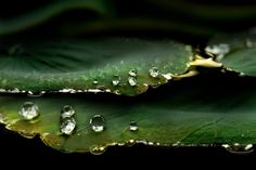 ...a beautiful Macro Photography on Dew drop on Lotus Leaf. Beautifu Mother Nature......remind me of old hits song ' MORNING HAD BROKEN '