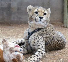 My baby Conservation, Cheetah, Cats, Gatos, Cat, Kitty, Canning, Kitty Cats
