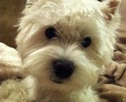Norman -- our Top Dog This Week! He is 1 year old West Highland White Terrier and his loves to chase ducks! #vancouver #dog #walking #walker