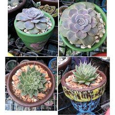 Echeveria diffractens ,Graptoveria 'silver star' #succulents #echeveria
