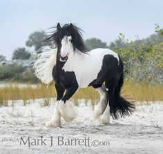 Stock Photos Horses, Equine Photography and Video by Mark J. Beautiful Horse Pictures, Most Beautiful Horses, Pretty Horses, Horse Love, Beautiful Beautiful, Beautiful Creatures, Animals Beautiful, Cute Animals, Gypsy Horse