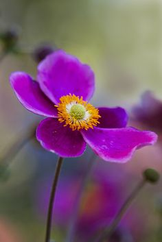 Wind Flowers by aussiegall, Flickr.  Purple floral photography https://flic.kr/p/brndJP | #purple #flower #photography
