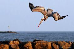 pelican diving | Pelican Dive | inotternews.com
