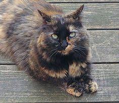 tortiseshell cat.jpg by lillybegood on Flickr.