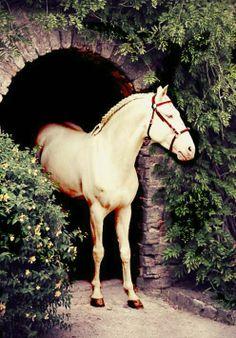 Cremello Puro Sangue Lusitano stallion, Altrevido, posed. photo: Marion Tubiana.