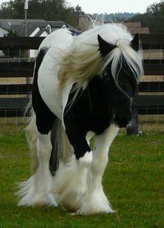 Horses with feather on pinterest gypsy horse shire horse and gypsy