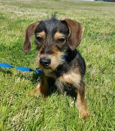 MOPSEY is an adoptable Dachshund searching for a forever family near Bryan, TX. Use Petfinder to find adoptable pets in your area.